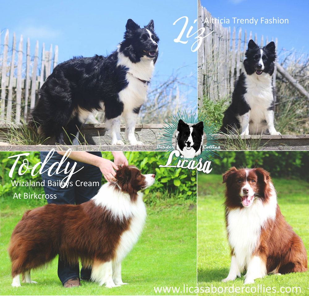 deckanzeige licasa border collies