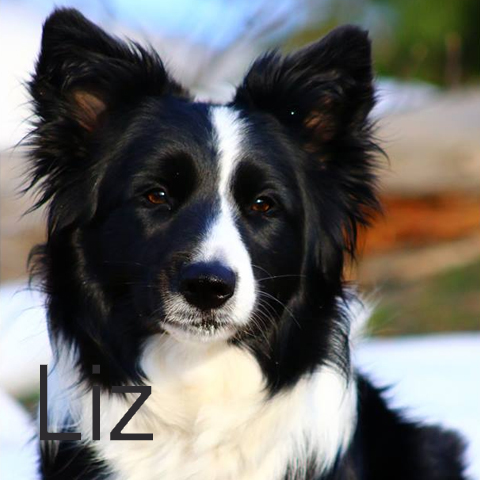 liz licasa border collie2